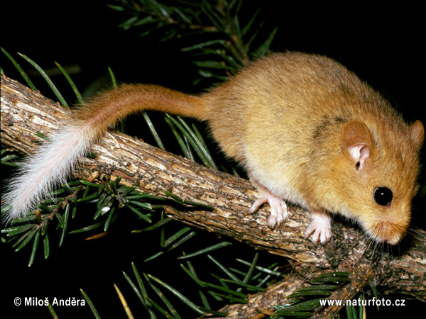 Common, Hasel Dormouse - partial albino (Muscardinus avellanarius)