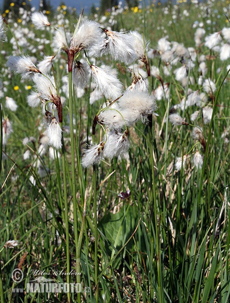 Common cottongrass, Common cottonsedge (Eriophorum angustifolium)