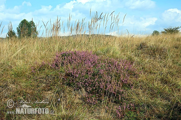 Common heather (Calluna vulgaris)