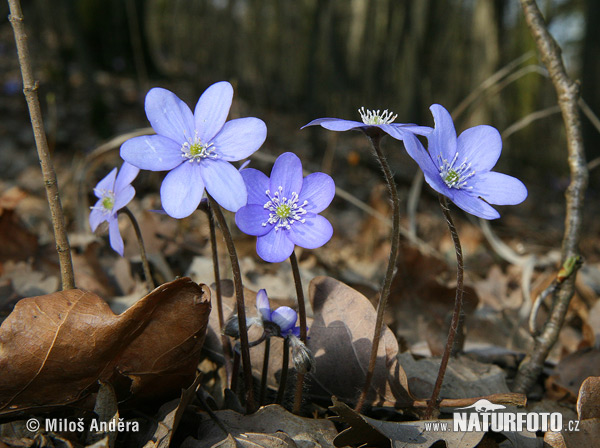 Common Hepatica Photos, Common Hepatica Images | Photobank ...