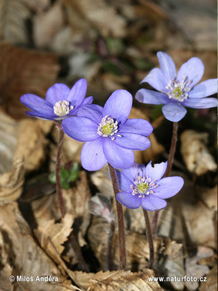 Common Hepatica (Hepatica nobilis)