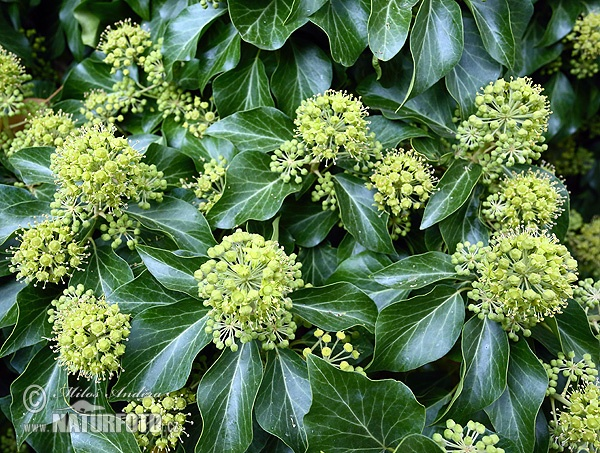 Common ivy, English ivy, European ivy (Hedera helix)