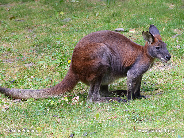 Common wallaroo (Macropus robustus)