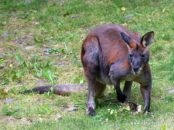 wallaroo - photo #34