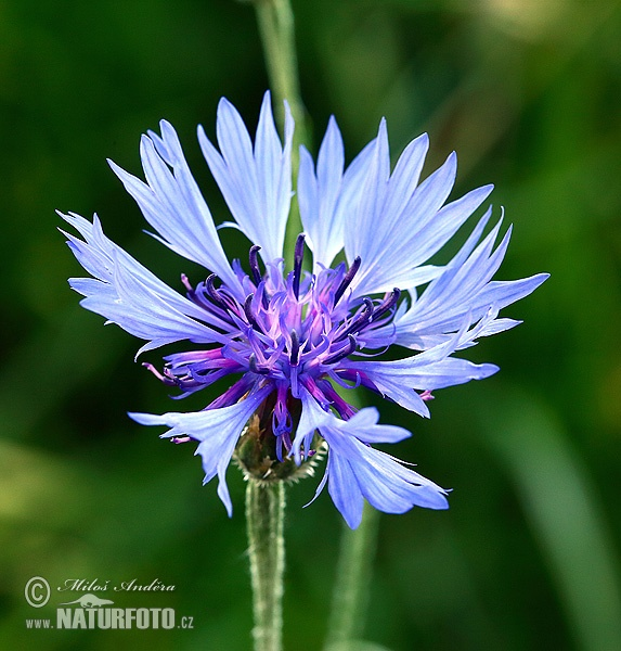 Cornflower, Bachelor's button (Centaurea cyanus)