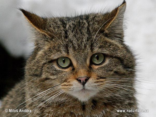 Divlja mačka ( felis silvestris )