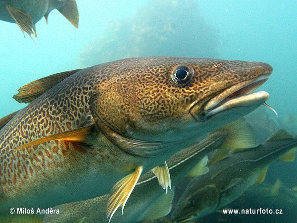 треска атлантическая рыбалка