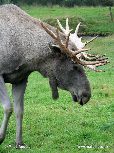 Elk, Moose (Alces alces)
