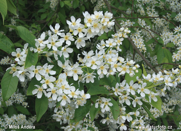 European Bird Cherry (Prunus padus)