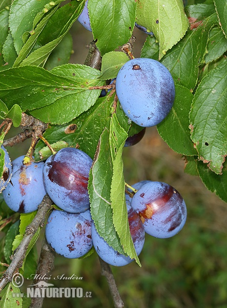 European plum trees (Prunus domestica)