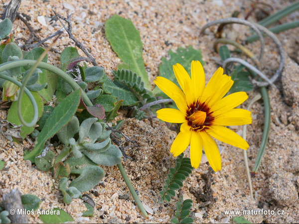 False Sow-Thistle, False Sowthistle (Reichardia tingitana)