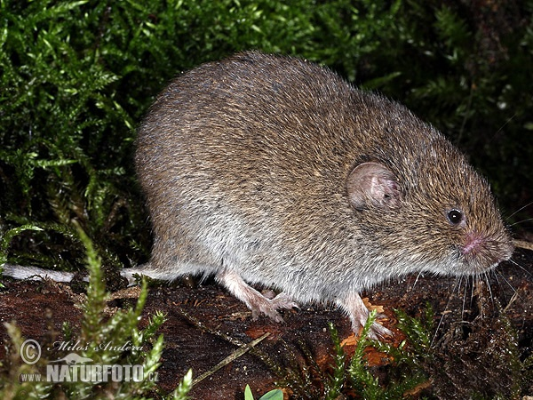 Field Vole, Short-tailed Vole (Microtus agrestis)