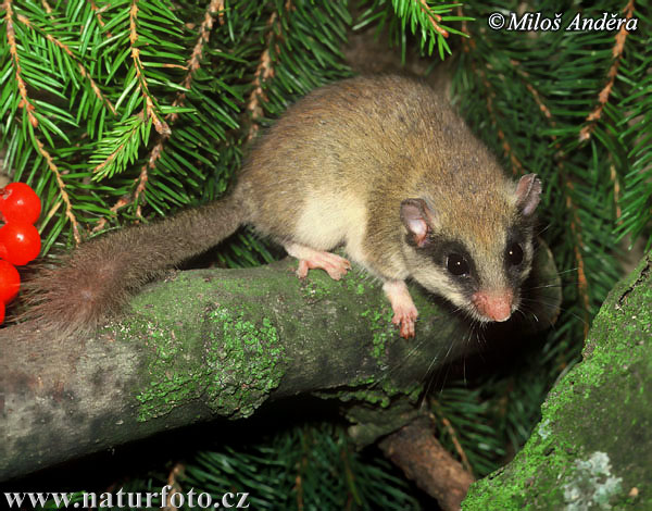 Forest Dormouse (Dryomys nitedula)