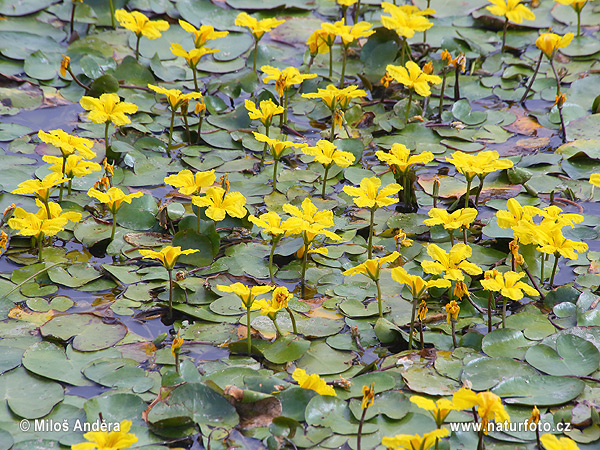 Fringed Water-lily, Yellow Floating-heart, Water Fringe (Nymphoides peltata)