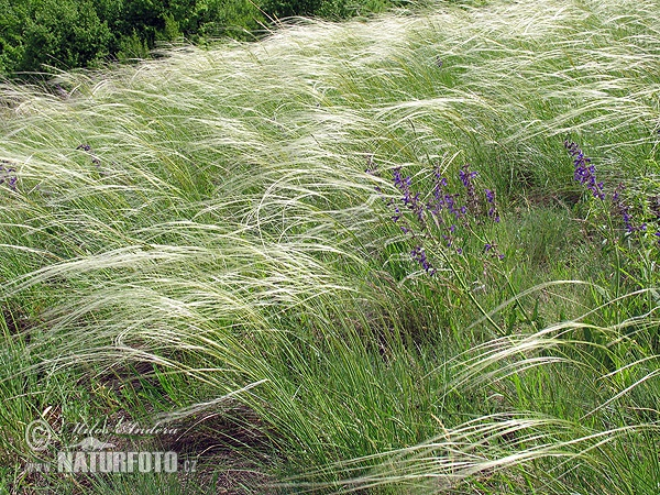 Great feather grass (Stipa pennata)