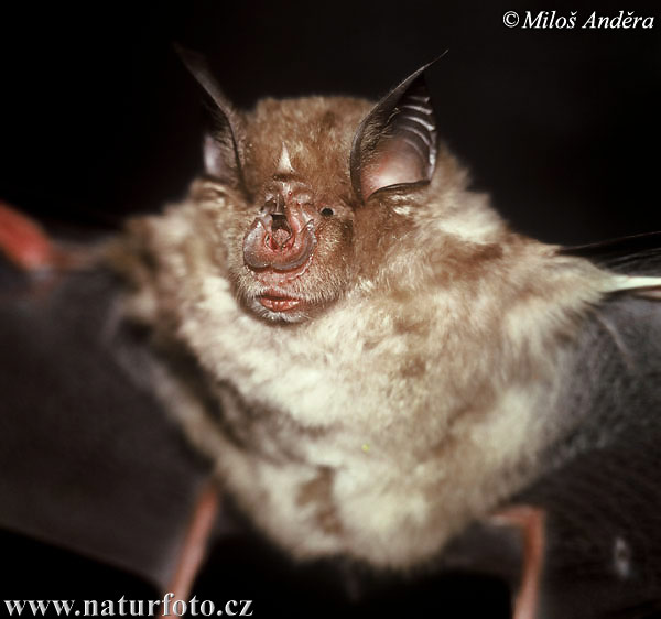 Great Horseshoe Bat (Rhinolophus ferrumequinum)