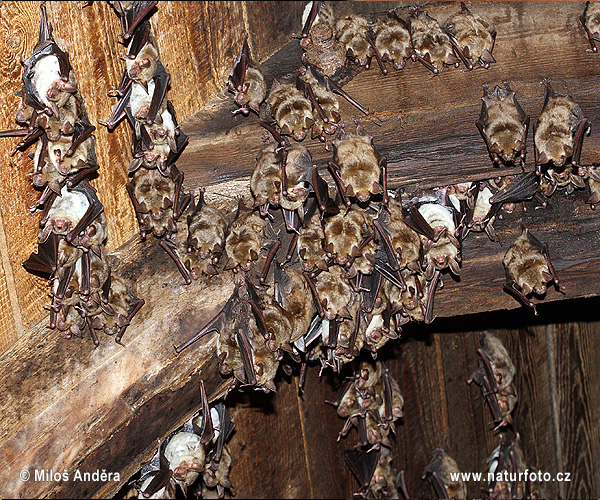 Greater mouse-eared bat - maternity roosts (Myotis myotis)