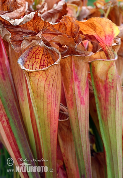 Green pitcher plant (Sarracenia oreophila)