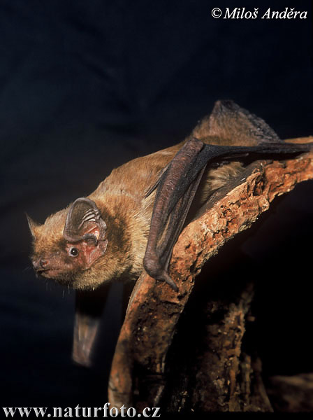 Hairy-armed Bat (Nyctalus leisleri)