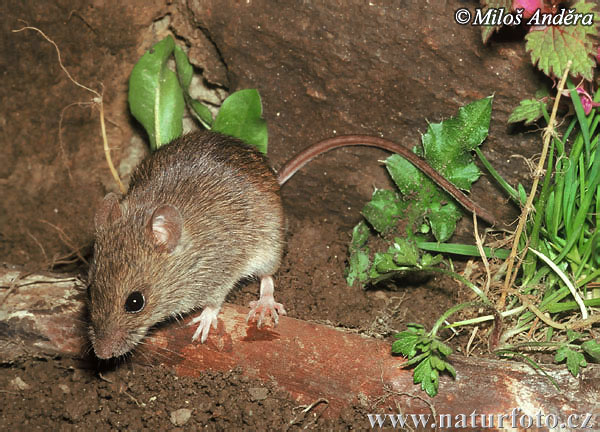 Herb Field Mouse (Apodemus uralensis)