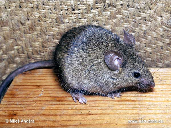 House Mouse Pictures, House Mouse Images | NaturePhoto