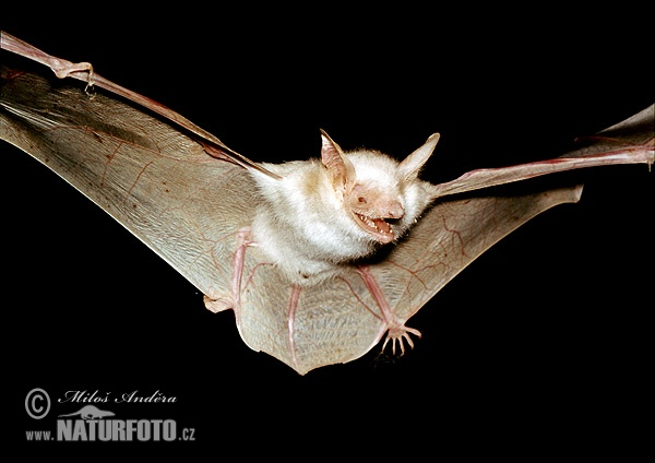 Large Mouse-eared Bat (albino specimen) (Myotis myotis)