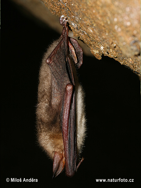 Large Mouse-eared Bat (Myotis myotis)