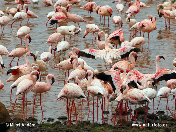 Lesser Flamingo (Phoeniconaias minor)
