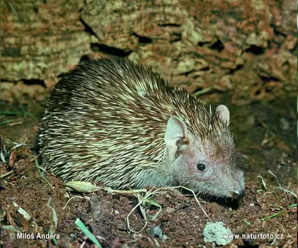 [Image: lesser-hedgehog-tenrec-1335.jpg]