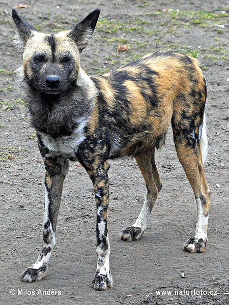 Lycaon Pictus Pictures African Wild Dog Images Nature