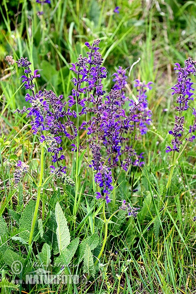 Meadow clary, Meadow sage (Salvia pratensis)