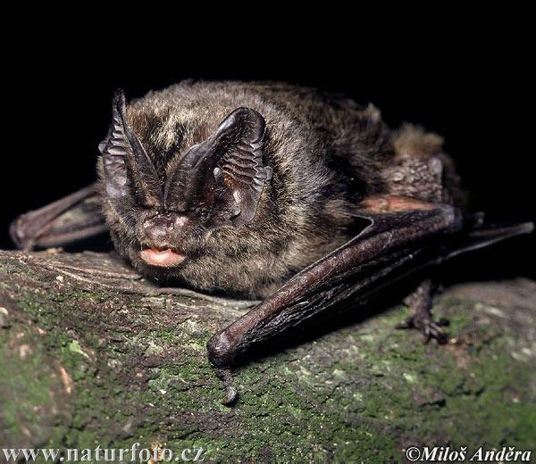 Morcego-negro Fotografia, Fotos