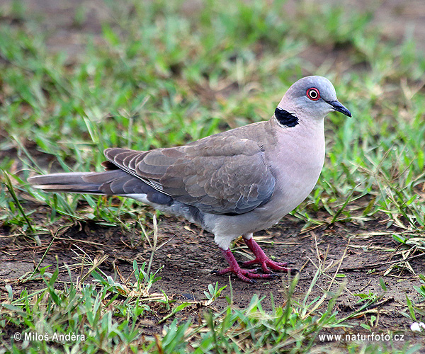 Mourning Collared Dove (Streptopelia decipiens)