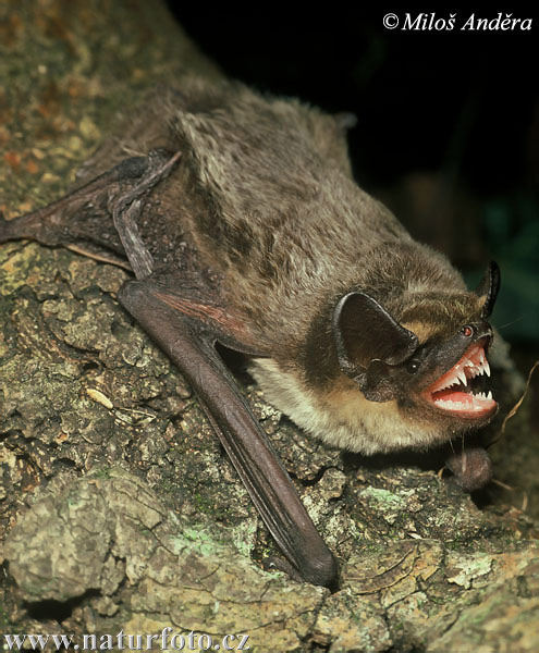Parti-coloured Bat (Vespertilio murinus)