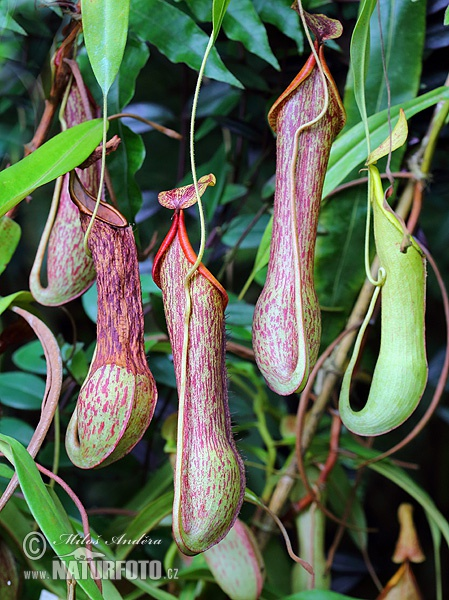Pitcher Plant (Nepenthes alata)