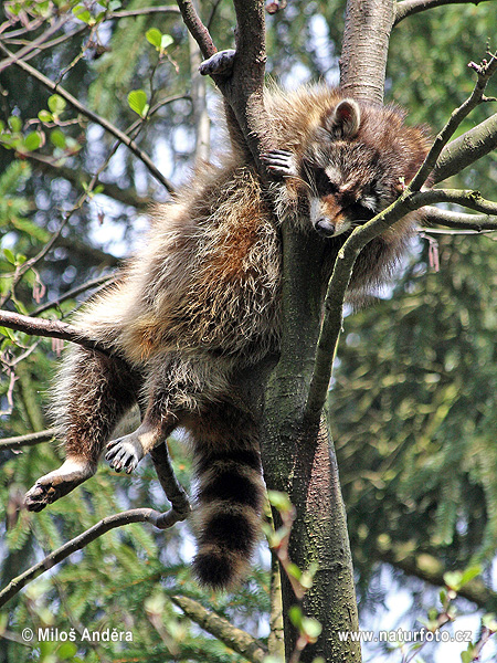 Raccoon, Common raccoon, North American raccoon, Northern raccoon (Procyon lotor)