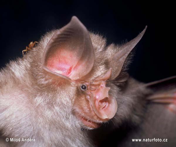 Horseshoe bat sars