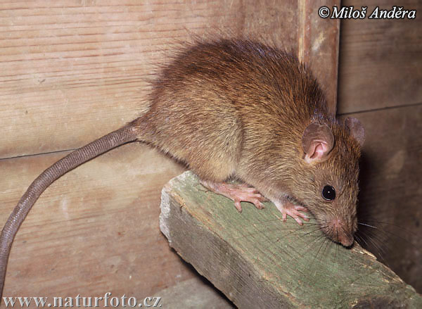 Ship Rat, Black Rat (Rattus rattus)