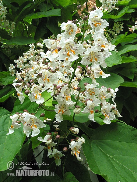 Southern catalpa, Cigartree, Indian-bean-tree (Catalpa bignonioides)