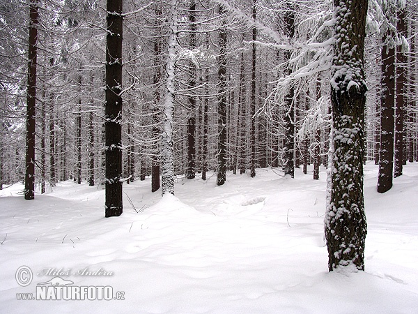 Spruce cultural forest, winter ()