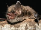 Alcathoe's bat, Alcathoe Whiskered Bat