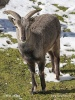 Bharal, Himalayan blue sheep, Naur