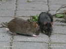 Black rat - brown and black form