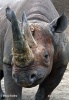 Black rhinoceros or hook-lipped rhinoceros