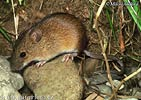 Black-striped Field Mouse