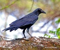 Cape Crow, Black Crow, Cape Rook, African Rook