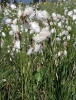Common cottongrass, Common cottonsedge