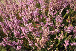 Common heather