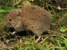 Common vole