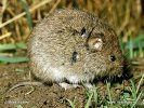 Common Vole with ticks